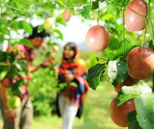 penang van rental - penang tropical fruit farm (8)